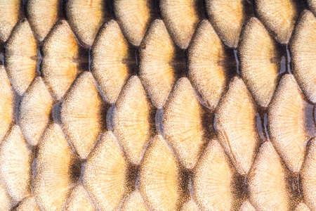 escamas de pez: Peces carpa Antecedentes escalas de cerca