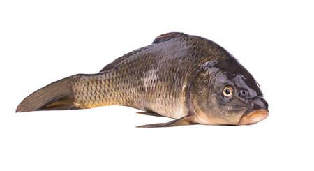 crucian carp: Live fish carp on a white background