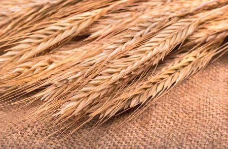 sacking: Many freshly harvested wheat spikelets shot close-up on sacking