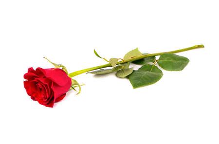 Fresco fiore rosa rossa su sfondo bianco