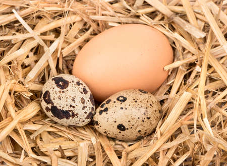Raw chicken and quail eggs on straw closeup Standard-Bild
