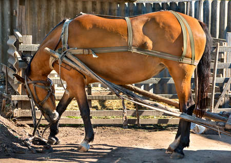 Beautiful redhead working a horse in harness outside in the summer weather Stock Photo
