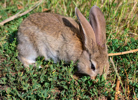 Gray young rabbit on green grass in the garden