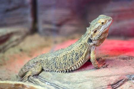 Bearded Agama lizard on a rock in the terrarium Stock Photo