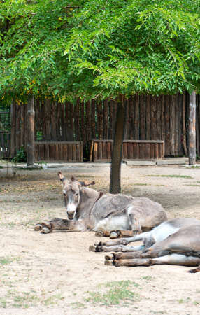 Two donkey resting under a tree at the zoo