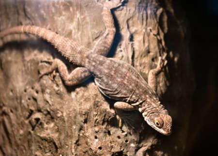 Viviparous lizard Zootoca vivipara night tree by lantern light