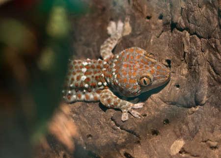 tokay gecko: Beautiful gekko gecko hiding behind the bushes on the tree Stock Photo