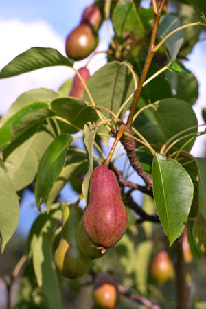Delicious red pear growing on the tree in the garden