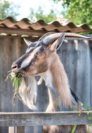 Portrait of beautiful goats chewing grass closeup