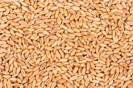 Background of dry wheat grains close up