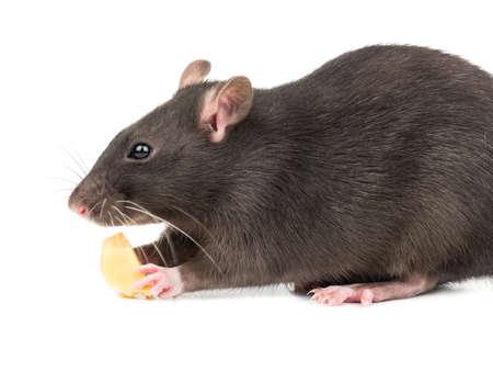 Schöne graue Ratte beißt ein Stück Käse auf weißem Hintergrund Standard-Bild