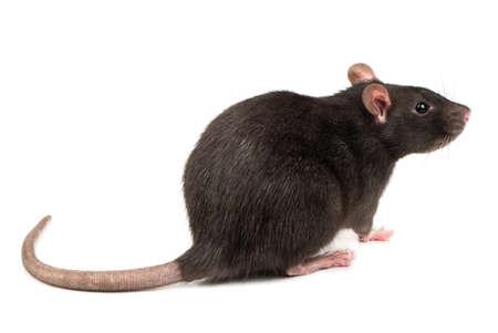 rata gris se encuentra en cuatro piernas en el fondo blanco Foto de archivo
