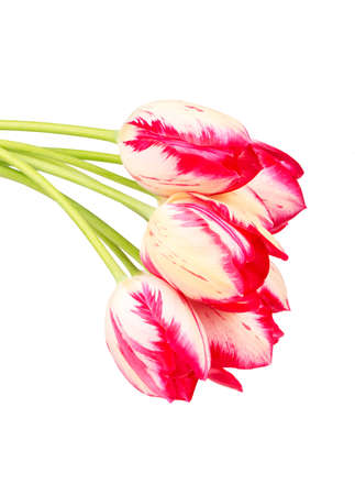 Several white red tulips on white background