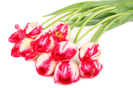 Several red and white tulips on a white background closeup Stock Photo