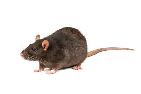 Large grey pet rat isolated on white background