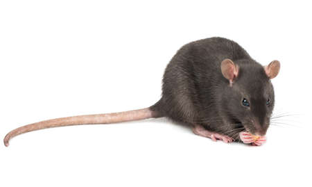 Rat eats the cheese holds in paws on a white background
