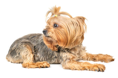 Dog mini Yorkshire Terrier lies on a white background