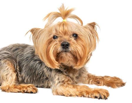 Portrait of dog mini Yorkshire Terrier closeup on white background
