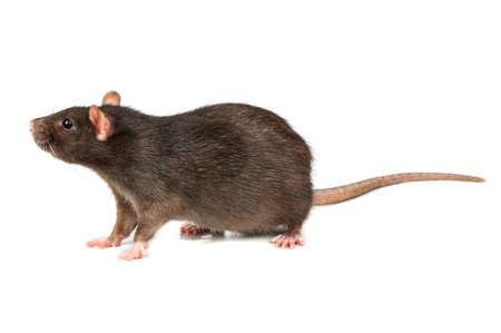 Rata mascota gris grande aislado sobre fondo blanco.