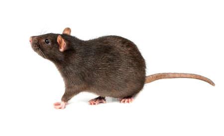 Rata gris gruesa aislado sobre fondo blanco.