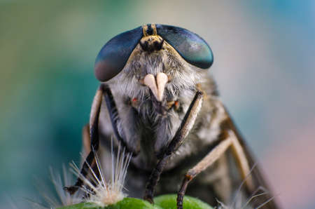 cleg: Portrait of a fly close up