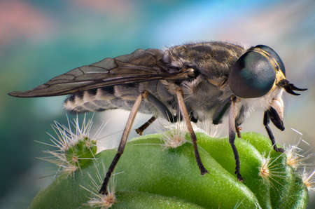 cleg: fly on a cactus