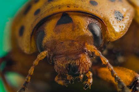 Portrait of the Colorado potato beetle close-up