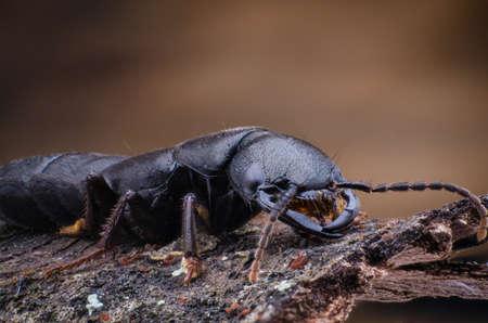 Devils coach horse beetle