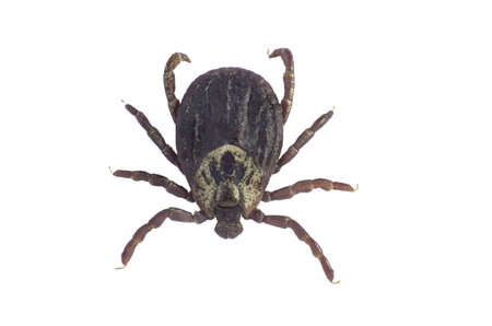 dog tick: Mite isolated on white background with clipping path