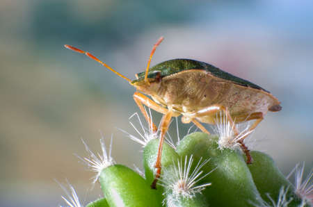 Green shield bug on a cactus