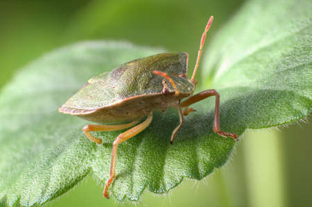 palomena: Green shield bug, Palomena prasina Stock Photo