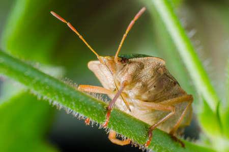 palomena prasina: Green shield bug, Palomena prasina Stock Photo