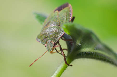 Green shield bug, Palomena prasina Stock Photo