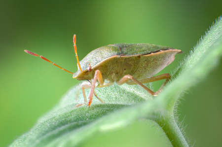 green shield bug: Green shield bug, Palomena prasina Stock Photo