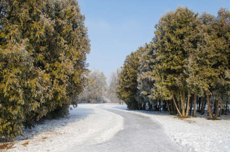 Trees covered with frost in a snowy forest. Stock Photo