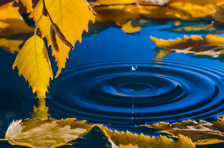 Leaves of birch over the water with ripples from the raindrops. Stock Photo