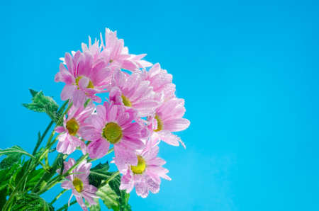 the sunken: Chrysanthemum flower in water with bubbles of air on a blue background. Stock Photo