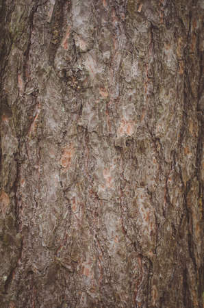 The texture of the bark of a pine tree. Stock Photo
