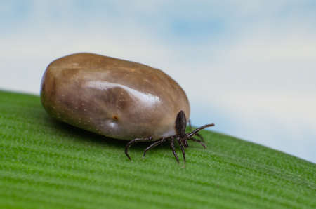 dog tick: Filled with blood the tick sits on a green leaf.