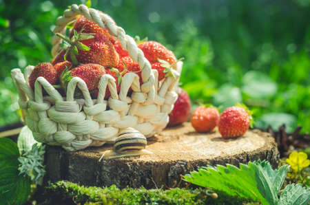 Basket with strawberries and a snail is on the stump. Stock Photo