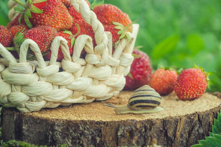 Basket with strawberries and a snail is on the stump. Foto de archivo
