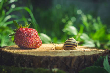 The snail crawls to the strawberry on the stump. Stock Photo