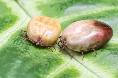 dog tick: Two blood-filled mites crawl along the green leaf.