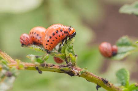Red larva of the Colorado potato beetle eats potato leaves.