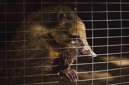 Coati in a cage. Stock Photo