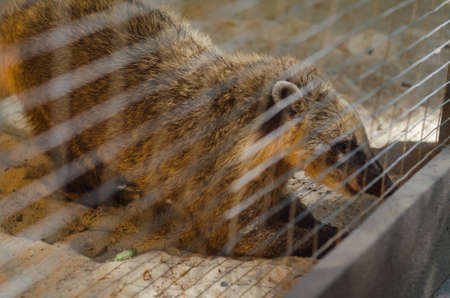 Coati in a cage. Stock Photo