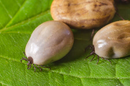 reticulatus: Ticks filled with blood sit on a green leaf.