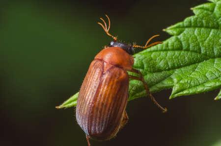 long horn beetle: Brown beetle on a green leaf.