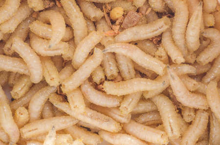 to metamorphose: Larva of a meat fly in sawdust, close-up.