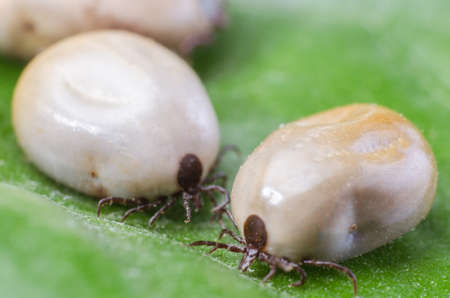 Two blood-filled mites crawl along the green leaf.